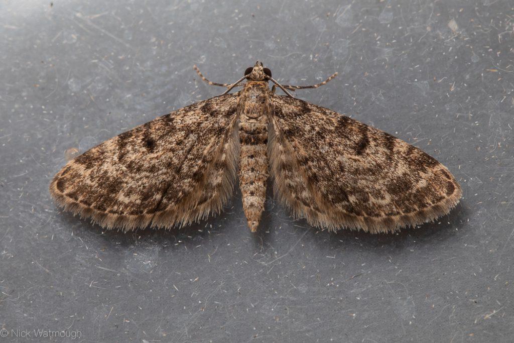 Garden moth-trap, Dwarf Pug, Eupithecia tantillaria,1stMay 2019, Norfolk