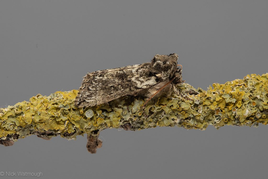 Garden moth-trap, Frosted Green, Polyploca ridens, 22nd April 2019, Norfolk