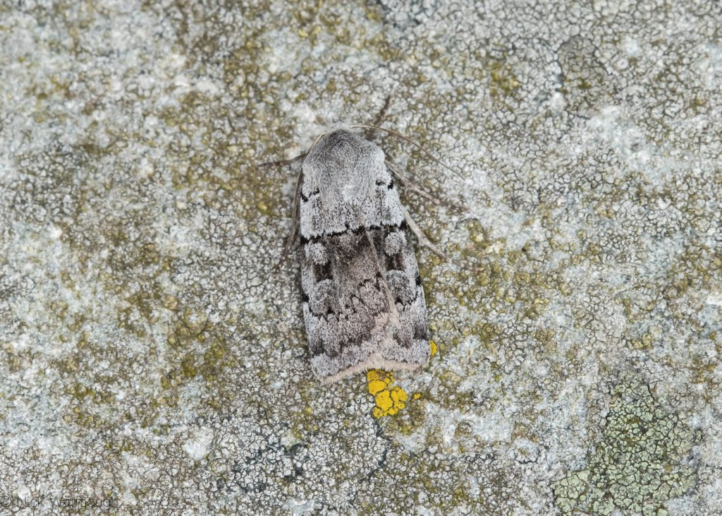 A species of moth called a Ashworth's Rustic, scientific name Xestia ashworthii, photographed at Sychnant Pass, Conwy, Wales, July 2019