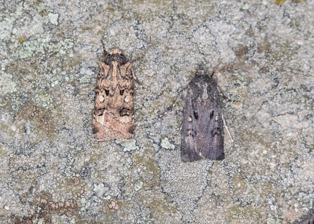 A species of moth called a Crescent Dart, scientific name Agrotis trux, photographed at Sychnant Pass, Conwy, Wales, July 2019