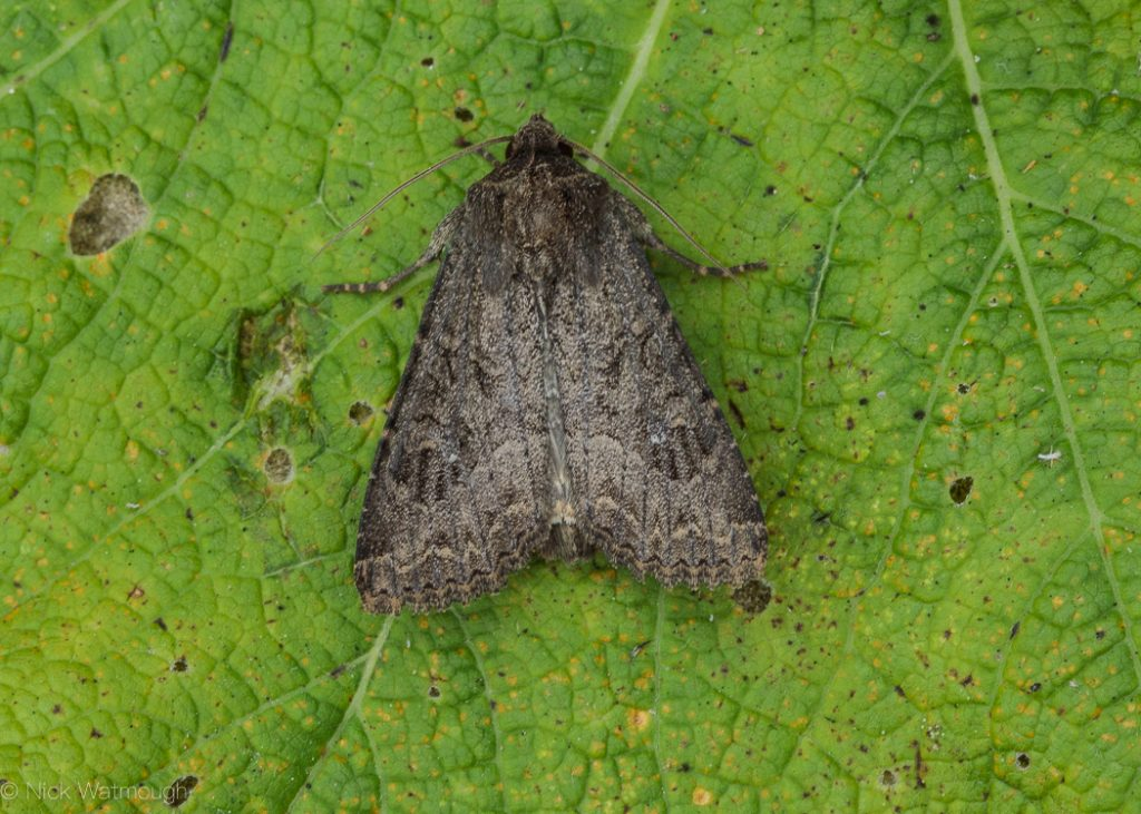 A species of moth called a Crescent Striped, scientific name Apamea oblonga, photographed at Holme-next-the-Sea, Norfolk, England, July 2018