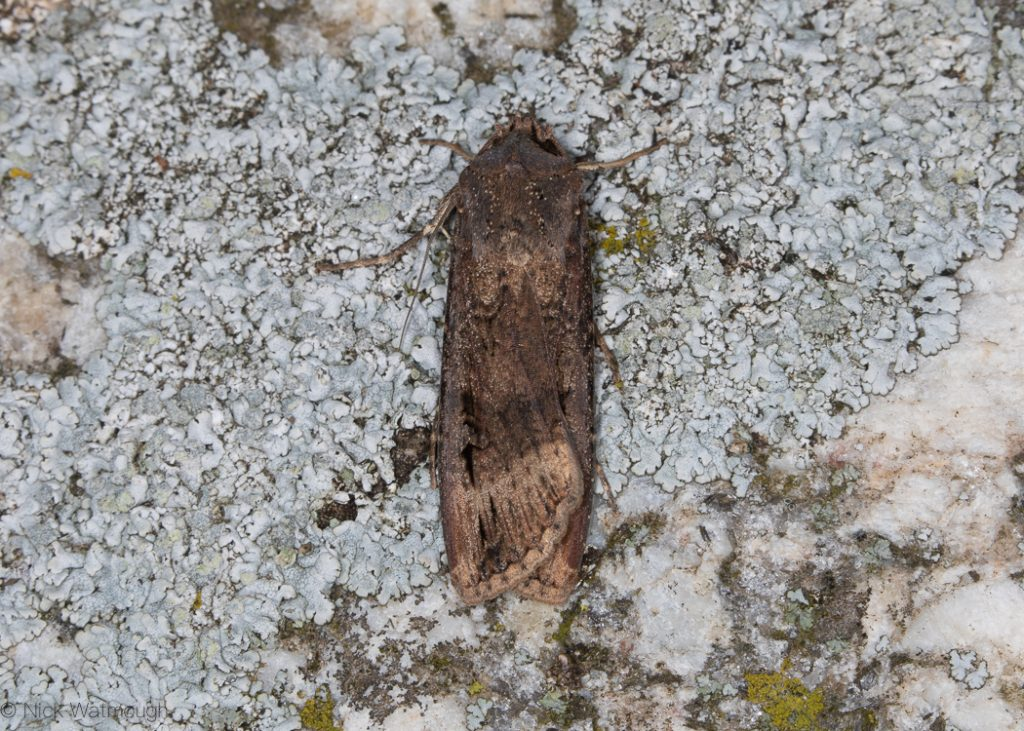 A moth called a Dark Sword-grass, scientific name Agrotis ipsilon, photographed on The Lizard, Cornwall September 2019