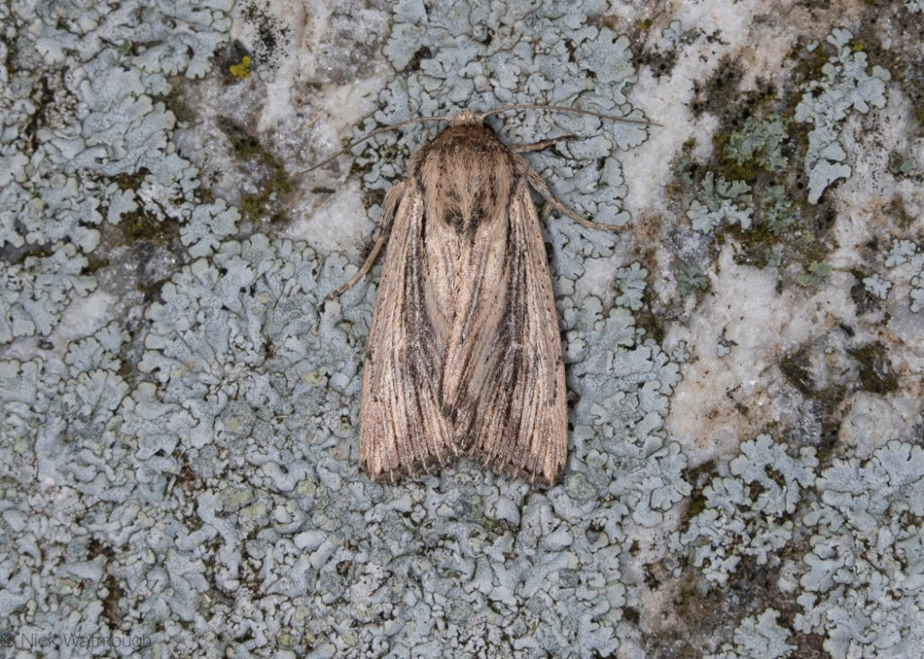 A moth called a Devonshire Wainscot, scientific name Leucania putrescens, photographed on The Lizard, Cornwall September 2019