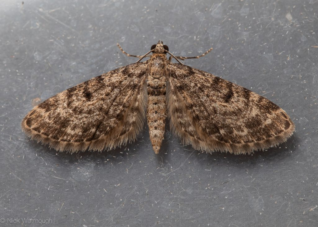 A species of moth called a Dwarf Pug, scientific name Eupithecia tantillaria, photographed at Eaton, Norfolk, England, September 2019