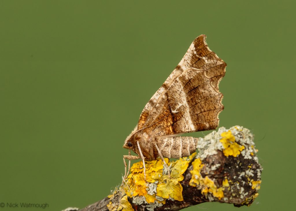A species of moth called an Early Thorn, scientific name Selenia dentaria, photographed at Eaton, Norfolk, England, April 2019