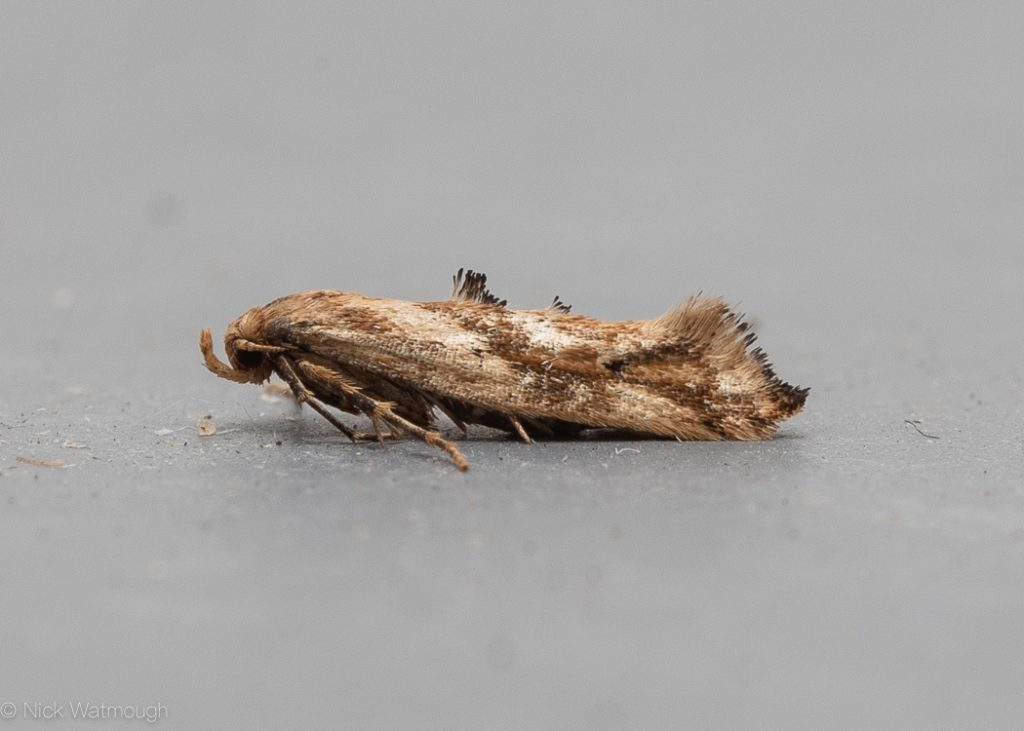autumn moths in the garden, Epermenia falciformis, Large Lance-wing, 11th September 2019, Norwich