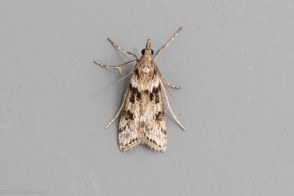 autumn moths in the garden, Eudonia angustea, Narrow-winged Grey, 12th September  2019, Norwich