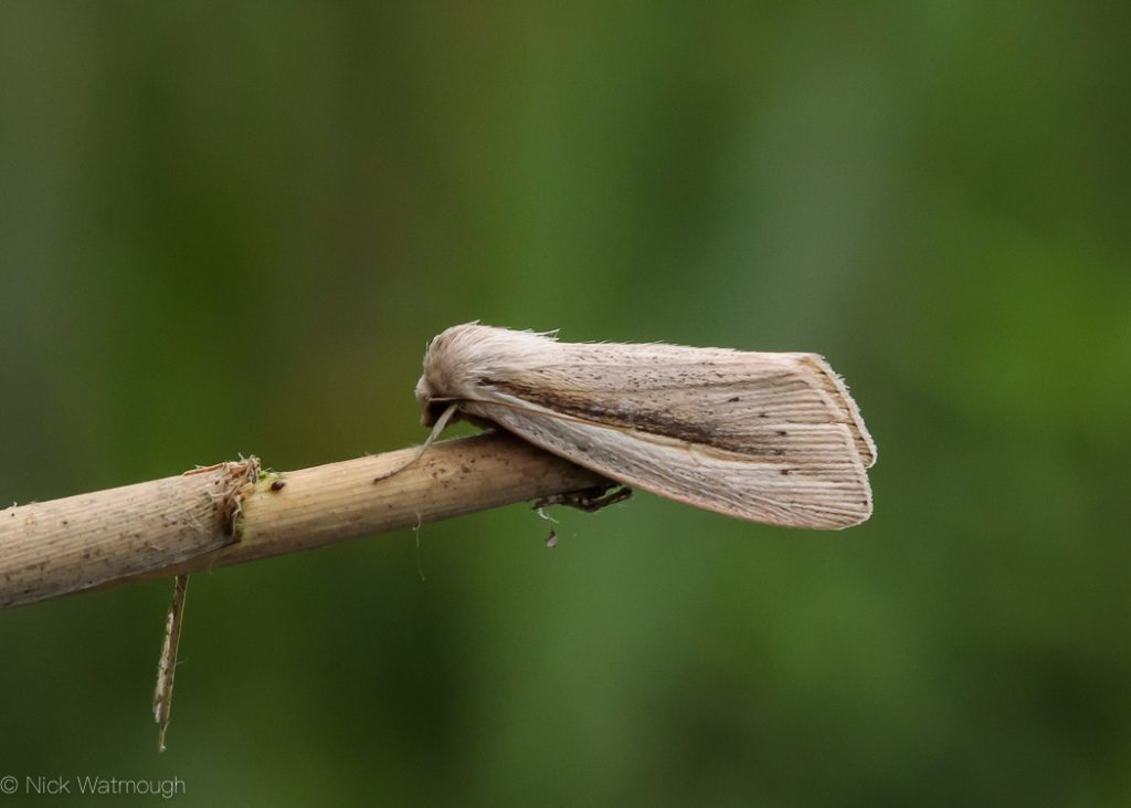 A species of moth called a Flame Wainscot, scientific name Senta flammea, photographed at Sutton Fen, Norfolk, England, June 2018