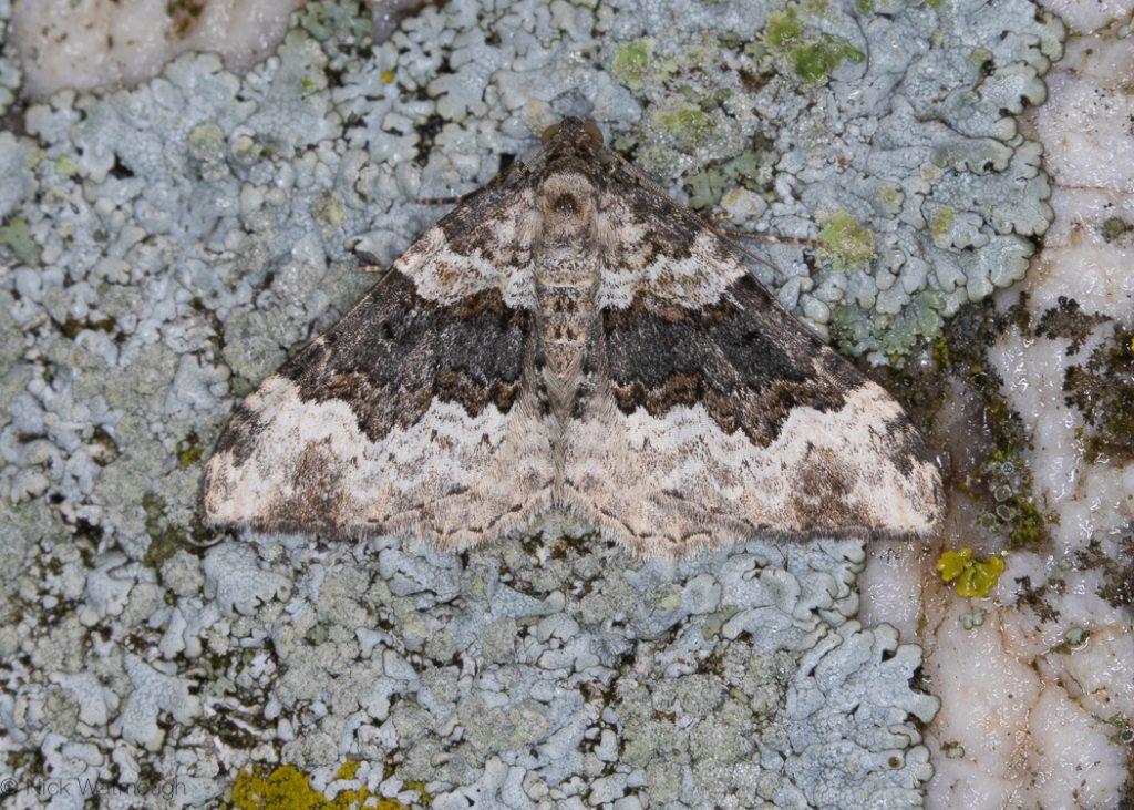 A moth called a Galium Carpet, scientific name Epirrhoe galiata, photographed on The Lizard, Cornwall September 2019