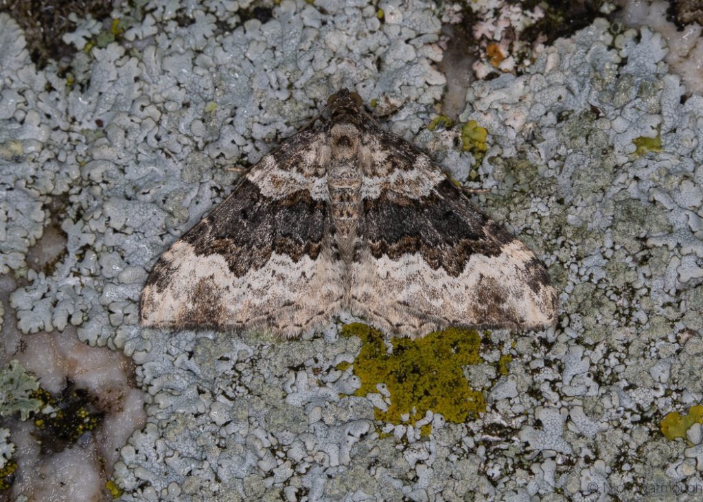 A moth called a Galium Carpet, scientific name Epirrhoe galiata, photographed on The Lizard, Cornwall September 2019