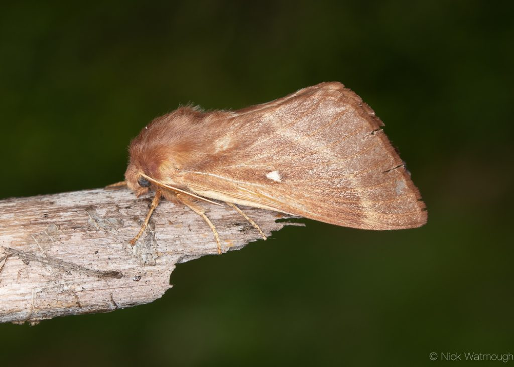 A moth called a Grass Eggar, scientific name Lasiocampa trifolii, photographed on The Lizard, Cornwall September 2019