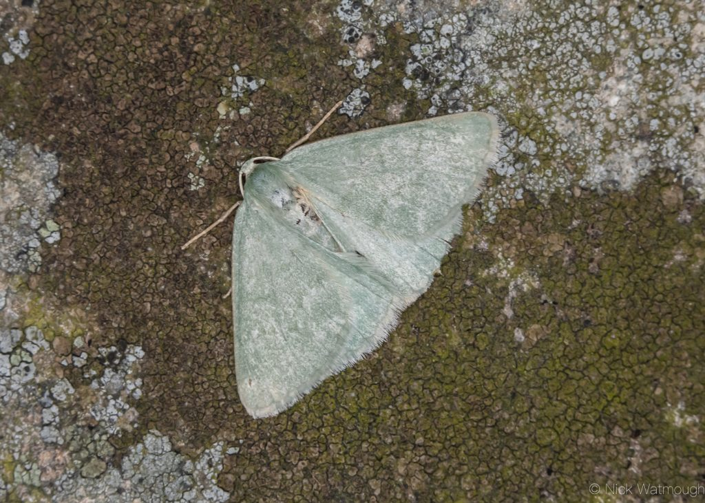 A species of moth called a Grass Emerald, scientific name Pseudoterpna pruinata, photographed at Sychnant Pass, Conwy, Wales, July 2019