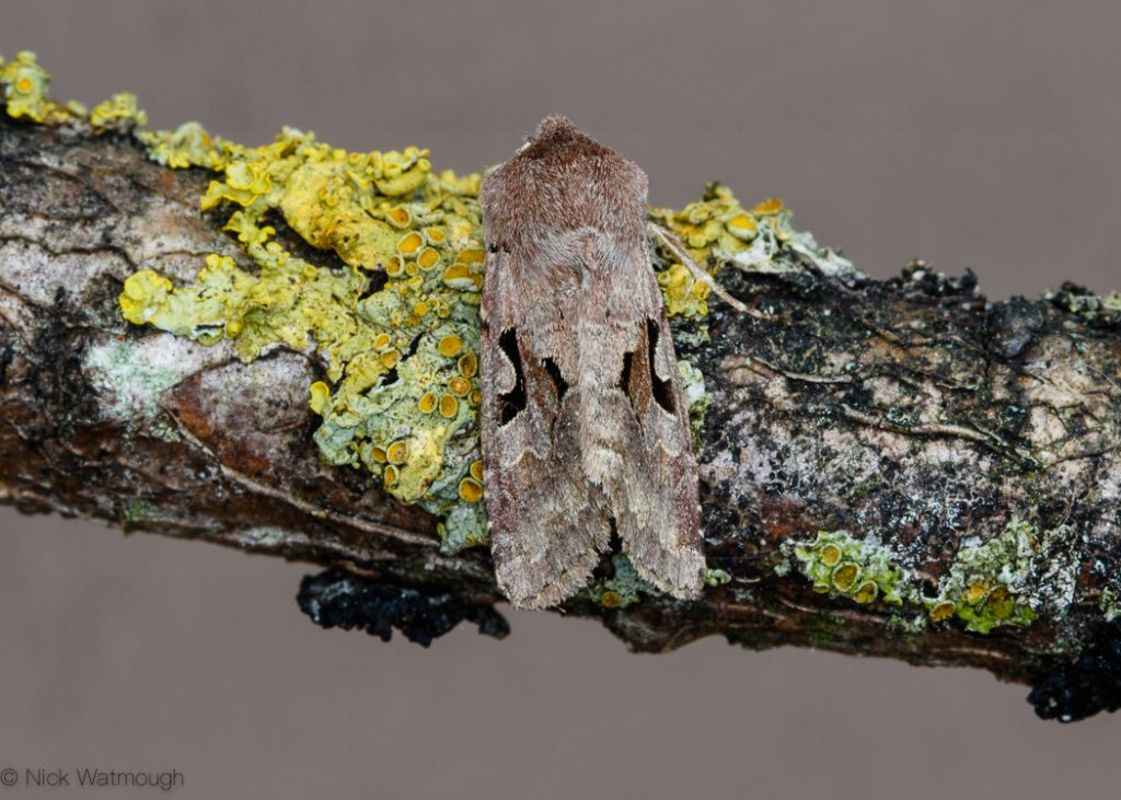 A species of moth called a Hebrew Character, scientific name Orthosia gothica , photographed at Eaton, Norfolk, England, April 2017