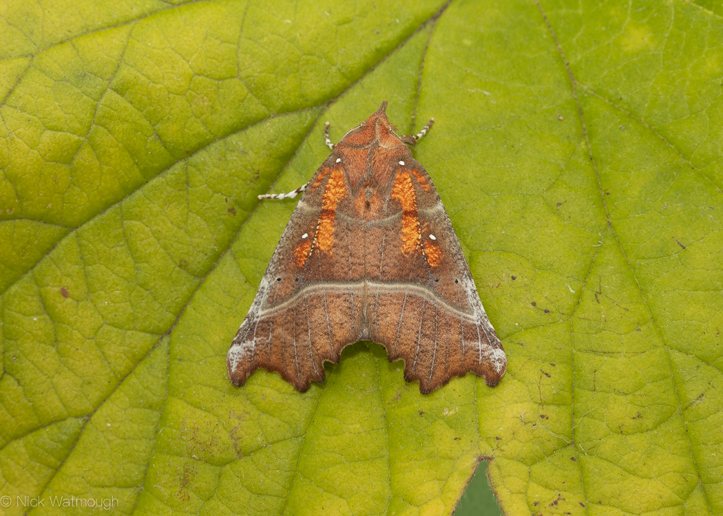 Autumn Moths in the Garden