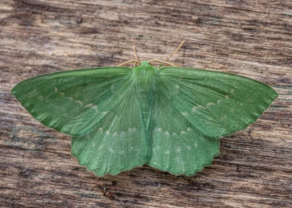 A species of moth called a Large Emerald scientific name Geometra papilionaria, photographed at Eaton, Norfolk, England, July 2009