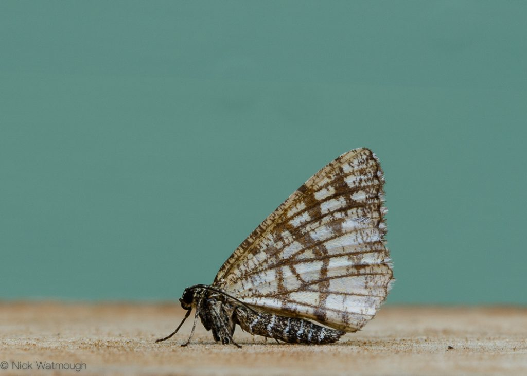 A species of moth called a Latticed Heath, scientific name Chiasmia clathrata , photographed at Eaton, Norfolk, England, May 2017