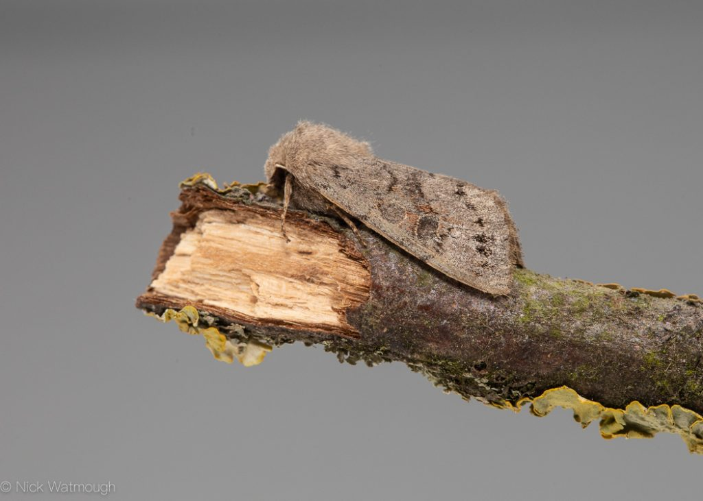 A species of moth called a Lead-coloured Drab, scientific name Orthosia populeti, photographed at Litcham, Norfolk, England, March 2019