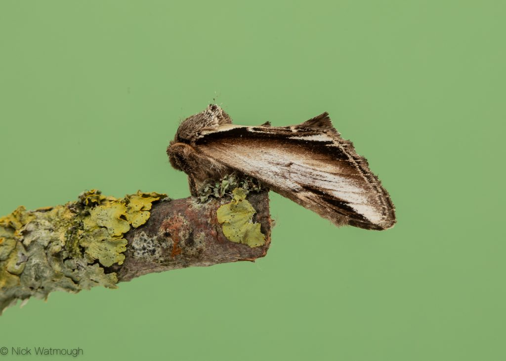 A species of moth called a Lesser Swallow Prominent, scientific name Pheosia gnoma, photographed at Eaton, Norfolk, England, August 2019