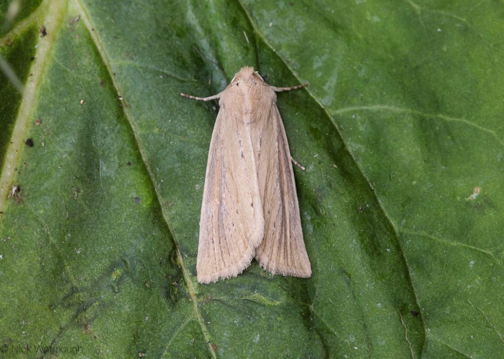 A species of moth called a Lyme Grass, scientific name Longalatedes elymi, photographed at Holme-next-the-Sea, Norfolk, England, July 2018