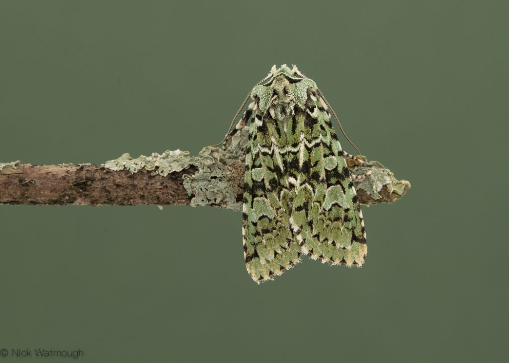 autumn moths in the garden, Merveille du Jour, Griposia aprilina, 19th October 2019, Norwich