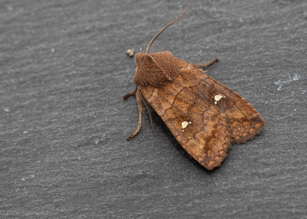 autumn moths in the garden, Satellite, Eupsilia transversa, 19th October 2019, Norwich