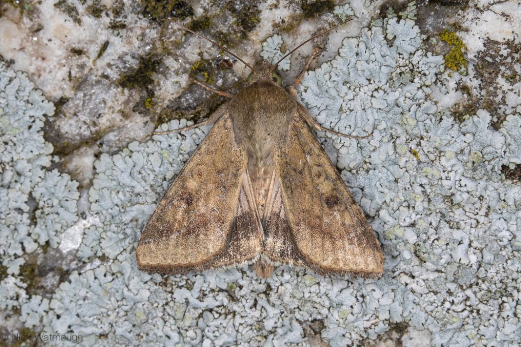Scarce-bordered Straw (Helicoverpa armigera) - Lizard, Cornwall September 8th 2019.