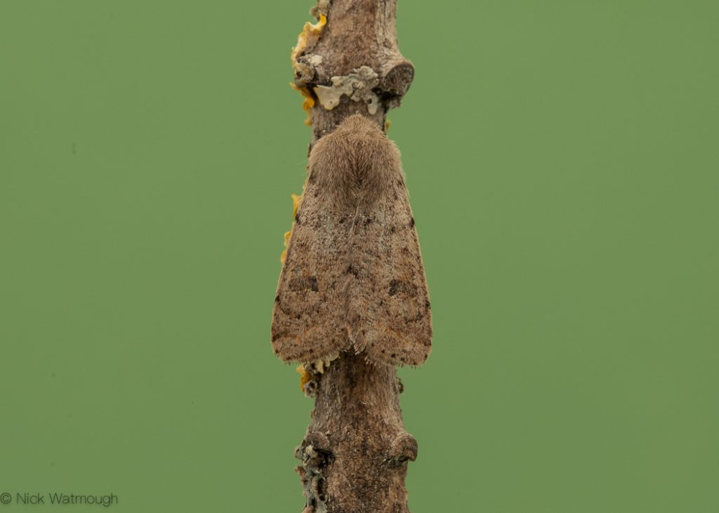 A species of moth called a Small Quaker, scientific name Orthosia cruda, photographed at Eaton, Norfolk, England, March 2020