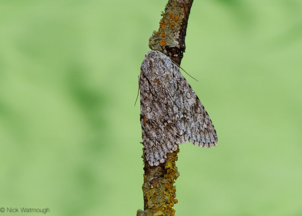 A species of moth called a Sycamore, scientific name Acronicta aceris, photographed at Eaton, Norfolk, England, May 2017