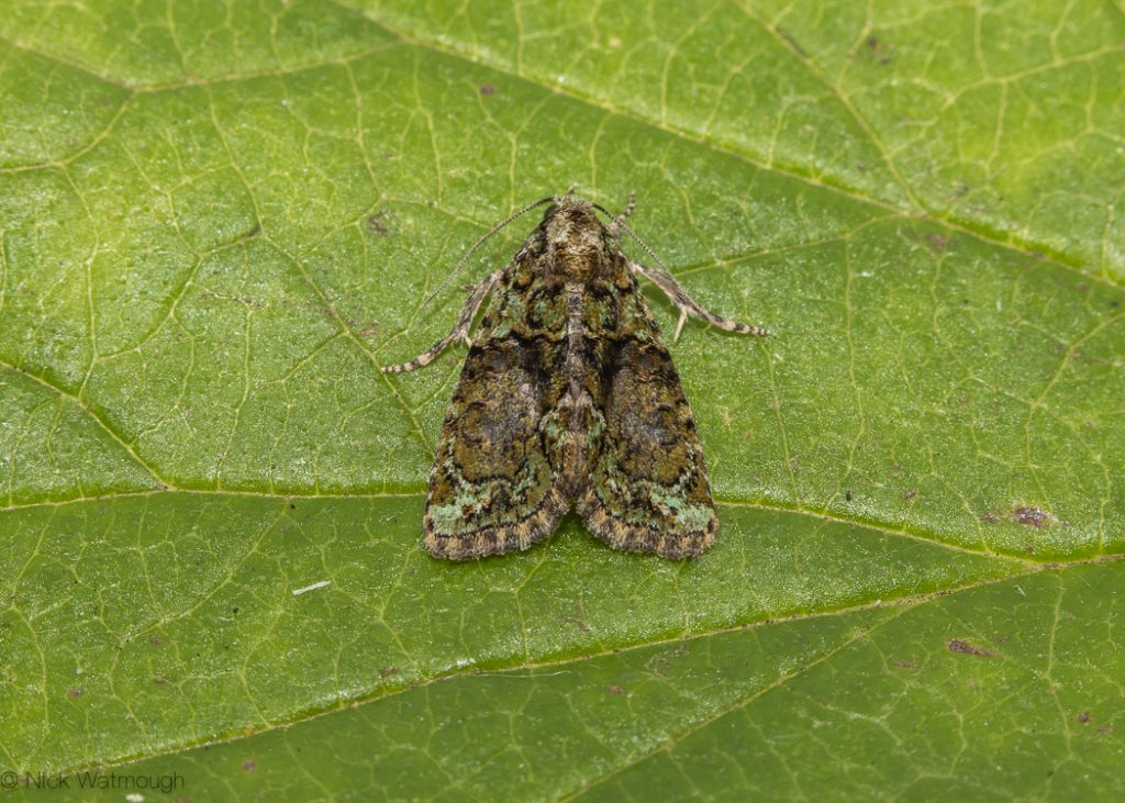 A species of moth called a Tree Lichen Beauty, scientific name Cryphia algae, photographed at Eaton, Norfolk, England, September 2019