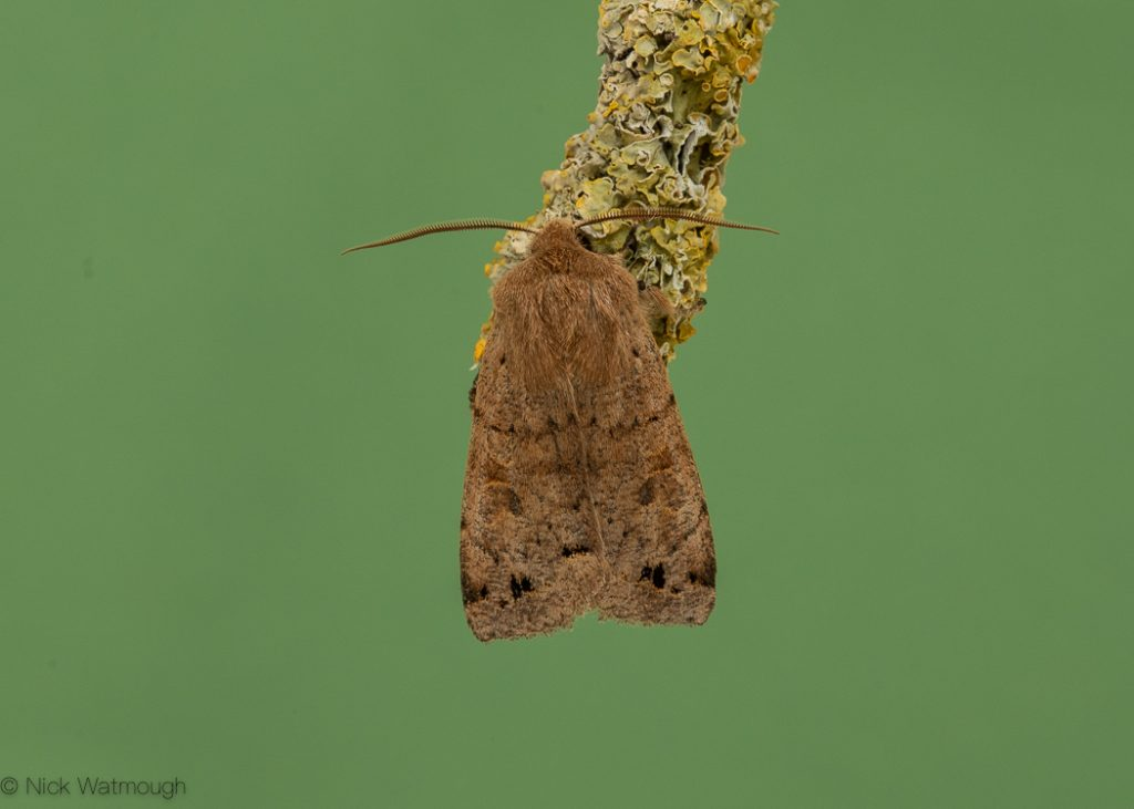A species of moth called a Twin-spotted Quaker, scientific name Perigrapha munda, photographed at Eaton, Norfolk, England, March 2020