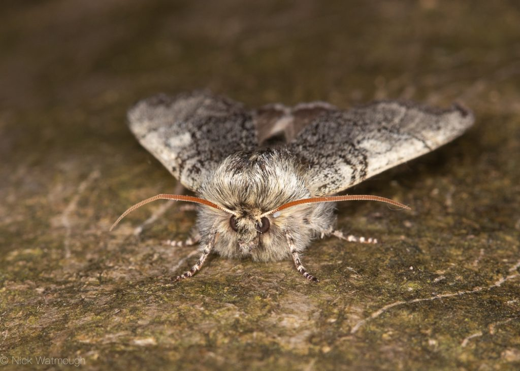 A species of moth called a Yellow-horned, scientific name Achlya flavicornis, photographed at Cranwich Heath, Norfolk, England, March 2019