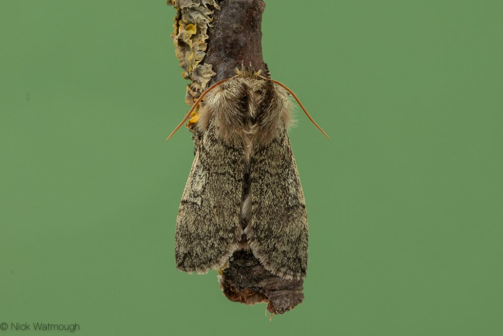 A species of moth called a Yellow-horned, scientific name Achlya flavicornis, photographed at Roudham, Norfolk, England, March 2020