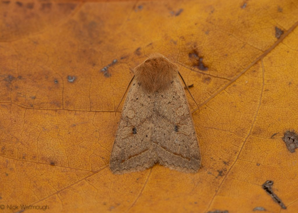 autumn moths in the garden, Yellow-line Quaker, Agrochola macilenta, 19th October 2019, Norwich