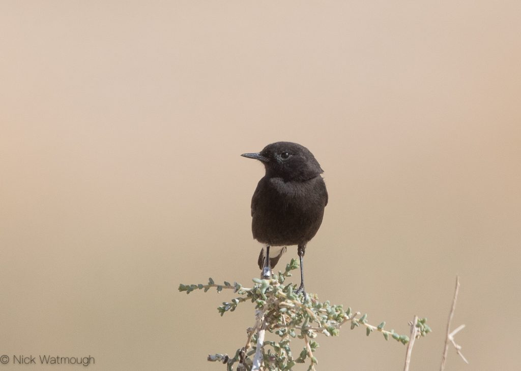 Basalt Wheatear Oenanthe (lugens) warriae), Uvda Valley, Israel, January 2020