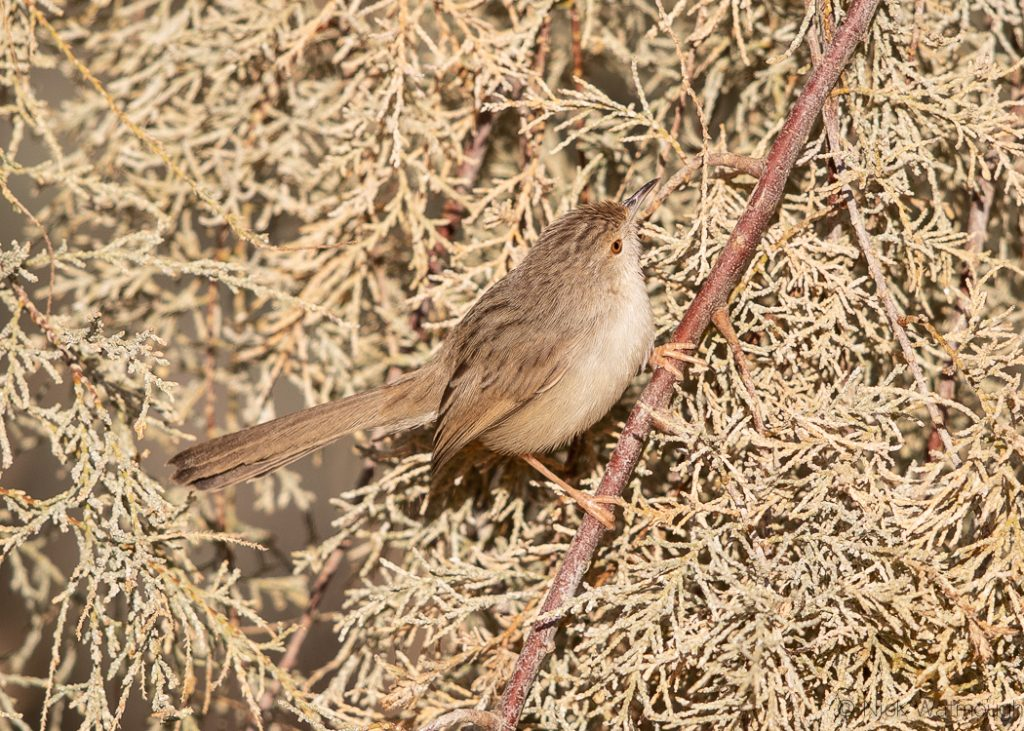 Graceful Prinia (Prinia gracilis), Samar, Israel, January 2020