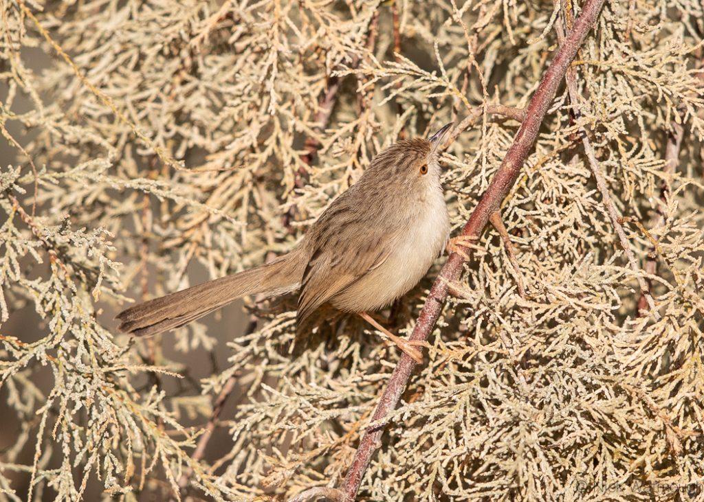 Graceful Prinia (Prinia gracilis), Samar, Israel, January 2020