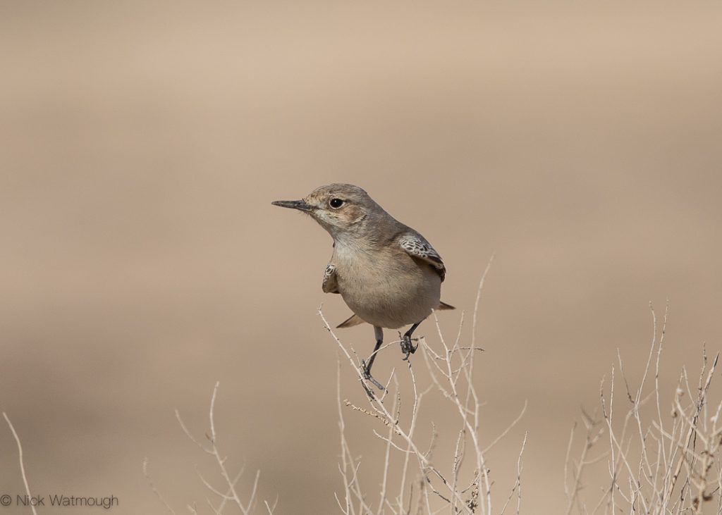 Hooded Wheatear (Oenanthe monacha), Uvda Valley, Israel, January 2020