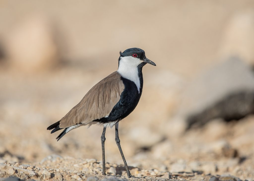 Spur-winged Lapwing (Vanellus spinosus), Samar, Israel, January 2020