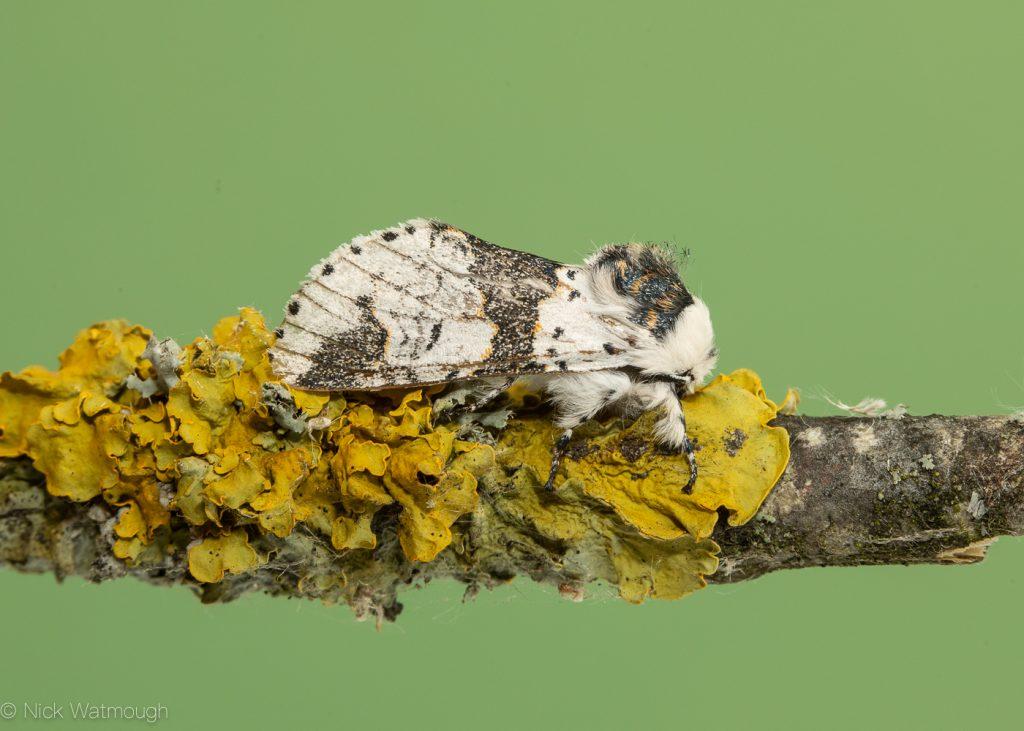 The Biggest Week for Moths, Alder Kitten, Furcula bicuspis, June 29th 2019
