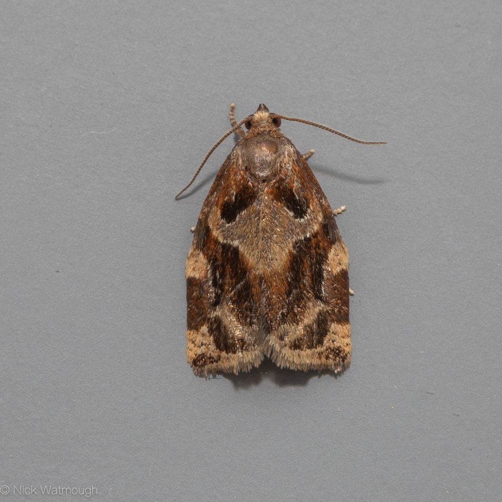 The Biggest Week for Moths, Archips xylosteana, Variegated Golden Tortrix, June 28th 2019, Norfolk