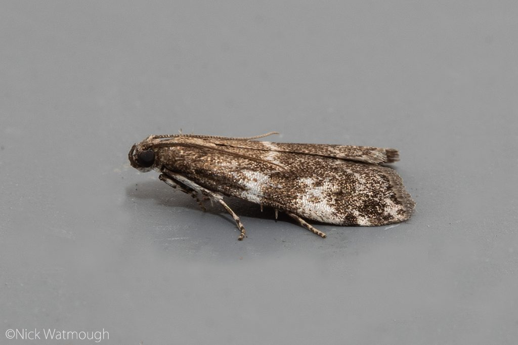 Garden Moth-trap, Assara terebrella, Dark Spruce Knot-horn, 31st May 2019, Norfolk