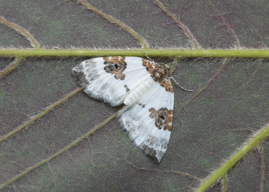 The Biggest Week for Moths, Blue-bordered Carpet, Plemyria rubiginata, June 29th 2019, Norfolk