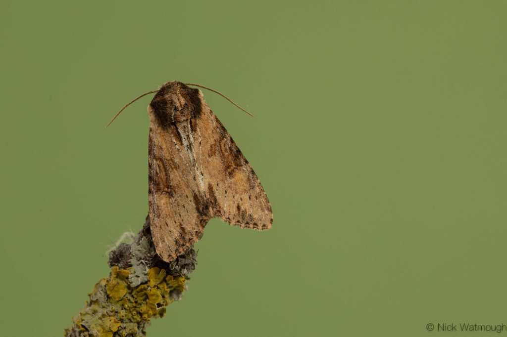 Garden moth-trap, Clouded-bordered Brindle, Apamea crenata, May 24th 2019, Norfolk
