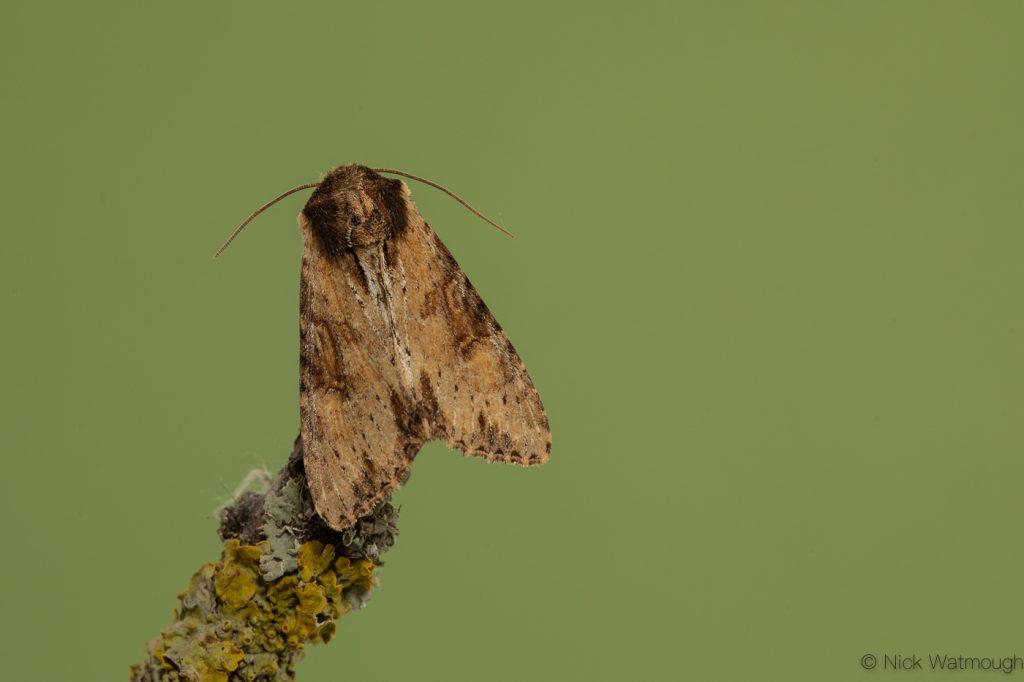 Garden moth-trap, Clouded-bordered Brindle, Apamea crenata, May 24th 2019, Norfolk