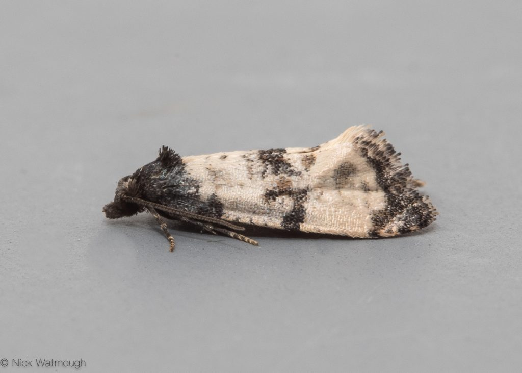 Garden moth-trap, Cochylis atricapitana, Black-headed Conch, May 18th 2019, Norfolk