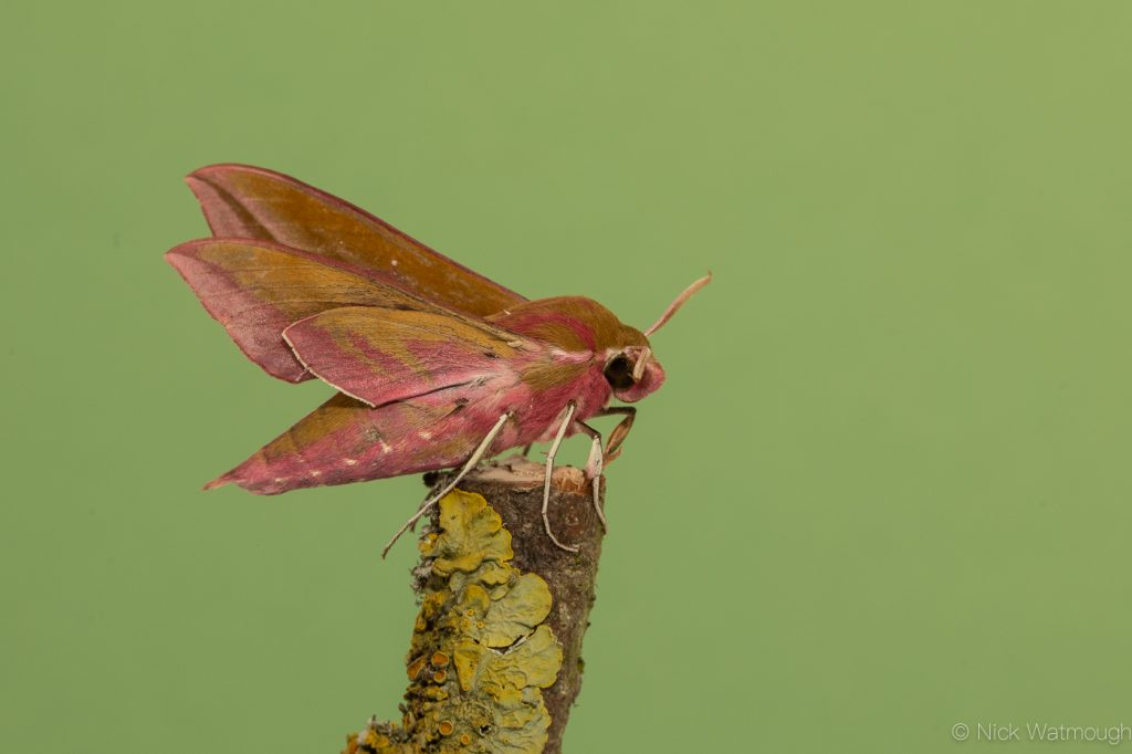 Garden moth-trap, Elephant Hawk-moth, Deilephila elpenor, May 24th 2019, Norfolk