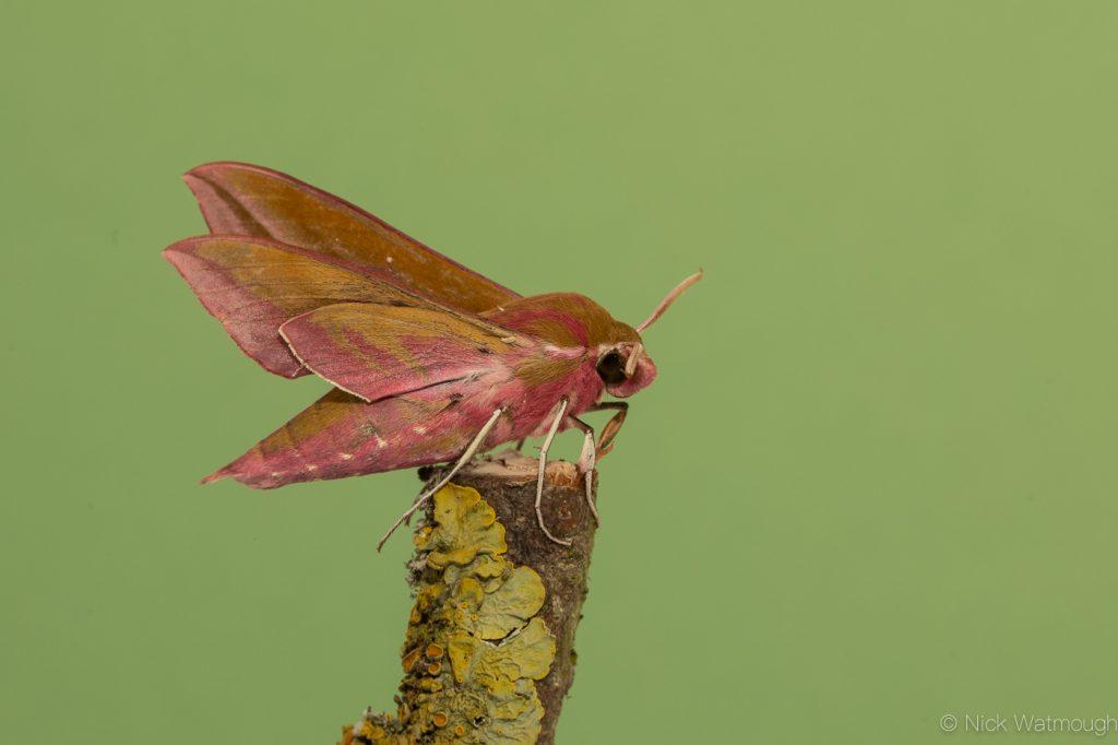Garden moth-trap, Elephant Hawk-moth, Deilephila elpenor, May 24th 2019, Norfolk