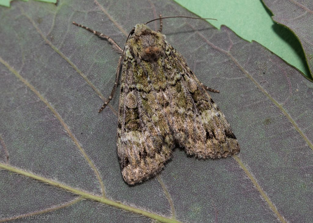 The Biggest Week for Moths, Green Arches, Anaplectoides prasina, June 29th 2019, Norfolk