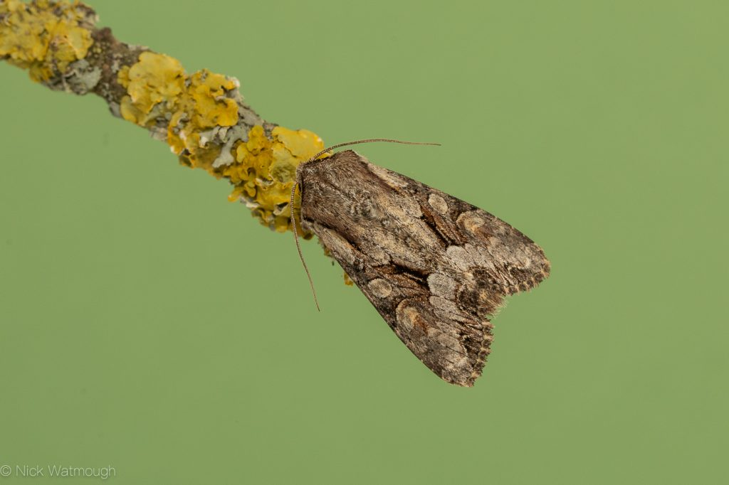 Garden moth-trap, Light Brocade, Lacanobia w-latinum, May 22nd 2019, Norfolk
