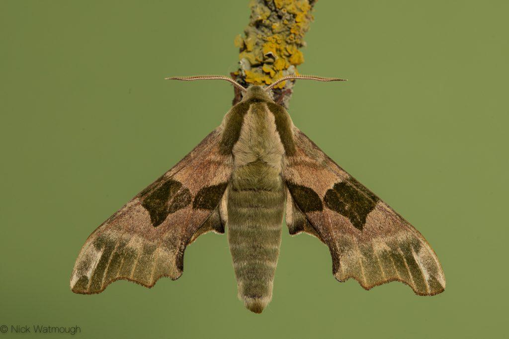 Garden moth-trap, Lime Hawk-moth, Mimas tiliae, 5th May 2019, Norfolk